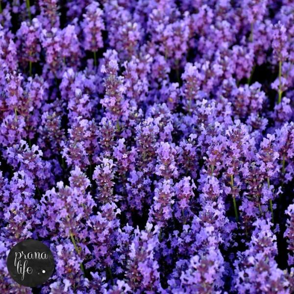 Lavender Incense 002